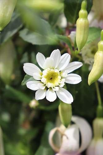 flower white petaled flowers blossom
