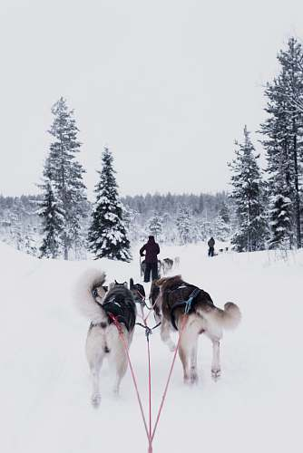 finland dogs pulling person on snow dogsled