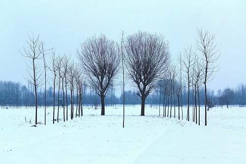 pampore black tree trees