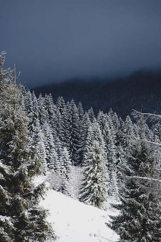 winter pine trees covered with snow grey