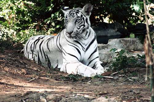 animal albino bengal tiger lying on ground near green plant wildlife