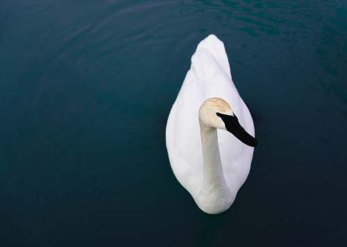 canada white swan floating on water penguin