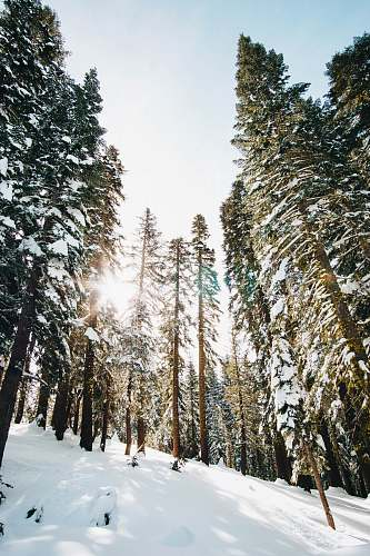 abies green trees on mountain covered snow conifer