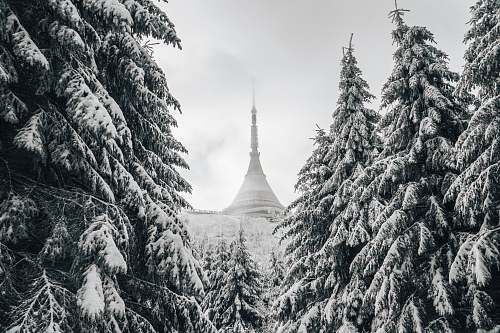 plant photo of snow-covered temple between pine trees abies