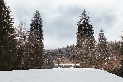 abies snow-covered pine trees fir