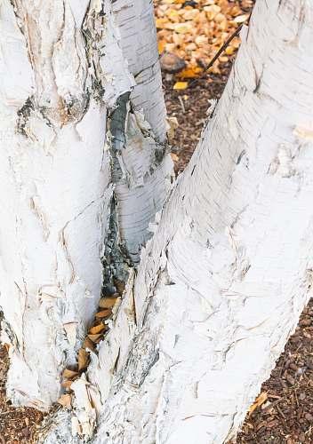 plant white tree trunk birch