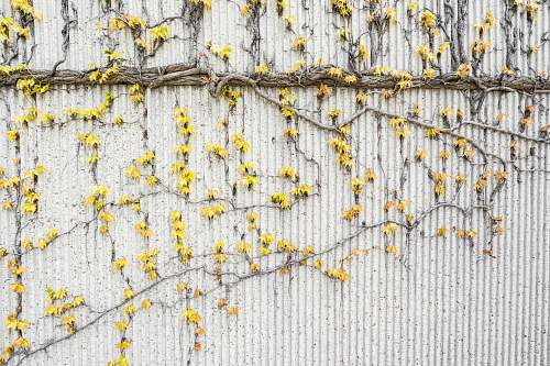 yellow yellow flowers crawling on white wall texture