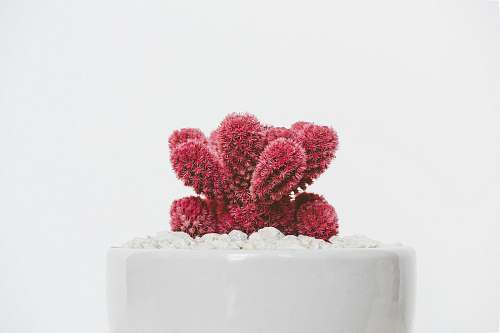 plant red cactus plant on white ceramic pot cactus