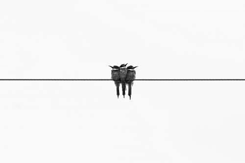 black-and-white three gray kingfisher birds animal