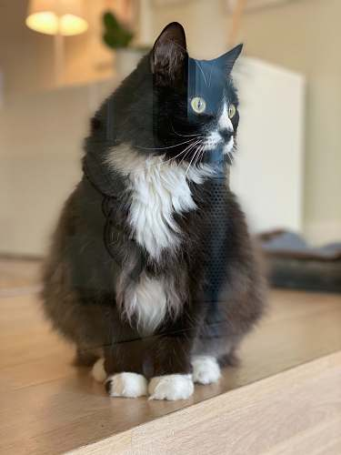 hardwood black and white tuxedo cat sitting on wooden floor animal