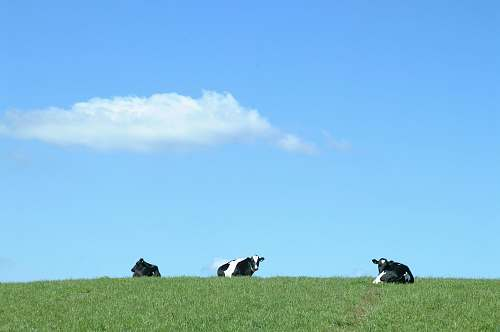 field black and white cows on green grass grass
