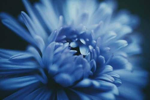 plant blooming blue daisy flower flower