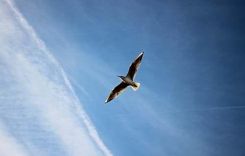 bird brown bird soaring the sky seagull