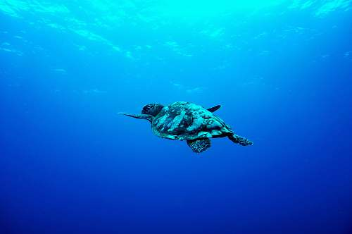 turtle gray turtle swimming under the sea animal