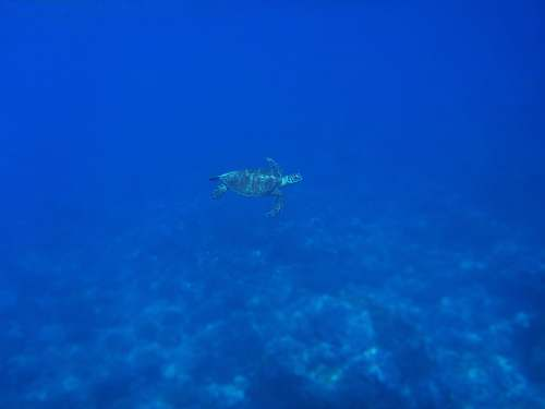 ocean green sea turtle swimming underwater turtle