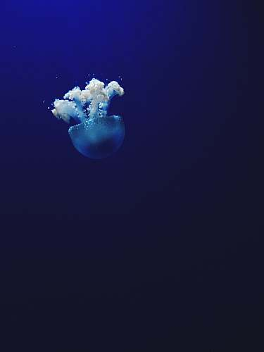 jellyfish jellyfish under water photo animal