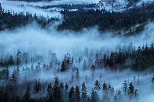 fog pine trees covered with fog during daytime tree