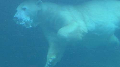 animal polar bear underwater mammal