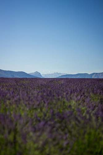 nature purple lavender field overlooking mountains during daytime france