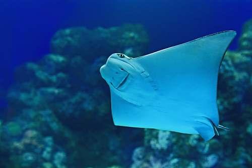 animal stingray near coral reef fish