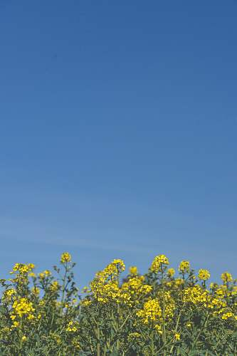 nature yellow petaled flowers under clear blue sky during daytime field