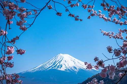 blossom Mt. Fuji, Japan flower