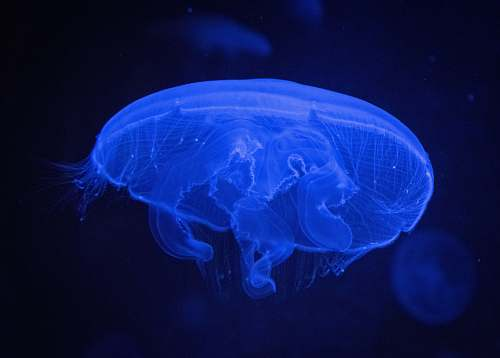 animal blue jellyfish invertebrate