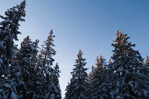 tree low angle photo of snow covered trees abies