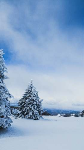 fir snow-covered pine trees abies