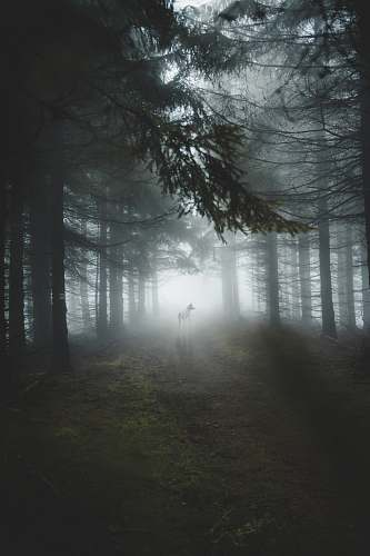 grey dogs in middle of tall trees during foggy weather weather