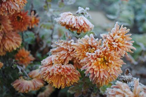 nature orange-petaled flowers snow