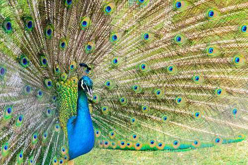animal photo of peacock bird