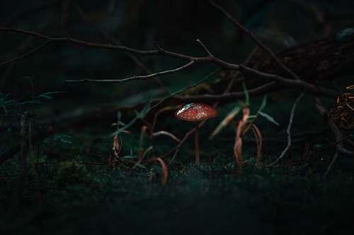 mushroom  agaric