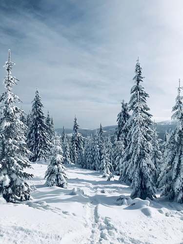 tree snow covered trees abies