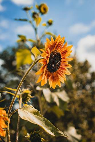 blossom yellow sunglower flower