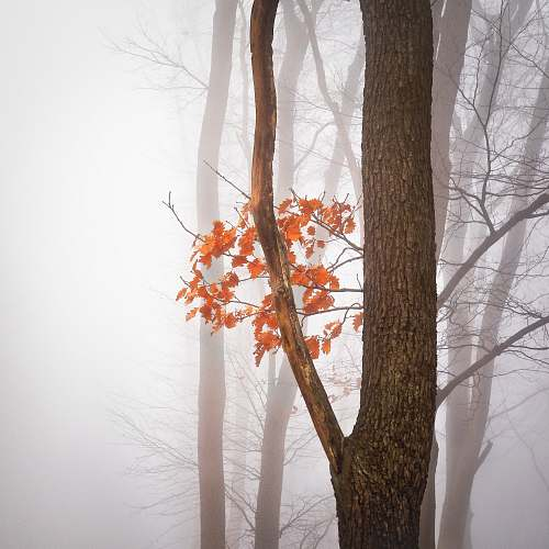 autumn orange maple tree fog