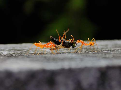 ant black and orange ants insect
