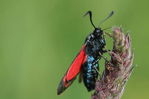 insect black and red moth perched on flower selective focus photography invertebrate