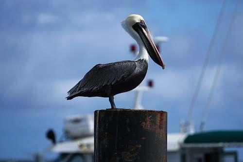 bird brown and black bird on wooden post pelican