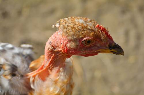 bird closeup photo of brown and gray naked-neck chicken turkey
