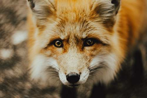 fox focus photography of brown fox wildlife