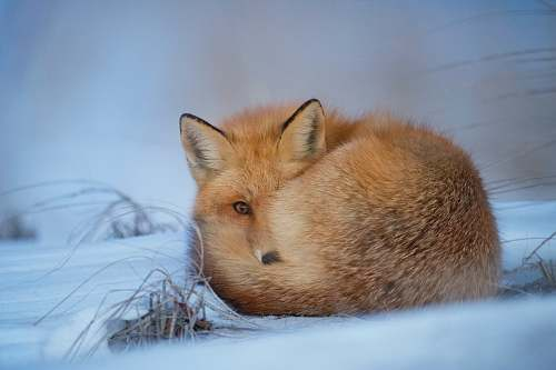 fox fox laying on snow mammal