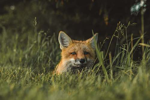 fox fox on green grass field during daytime mammal