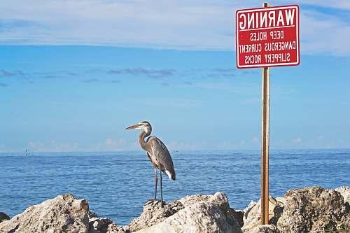 bird gray bird standing beside warning signage near body of water during daytime heron