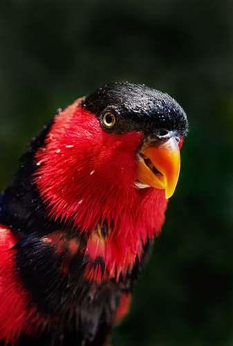 bird red and black bird beak