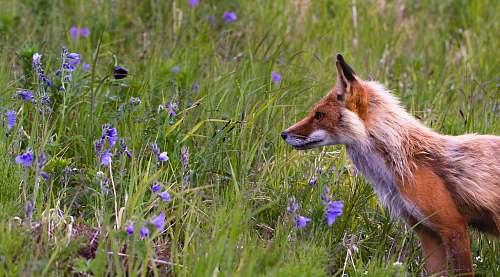 fox red fox beside lavender flowers wildlife