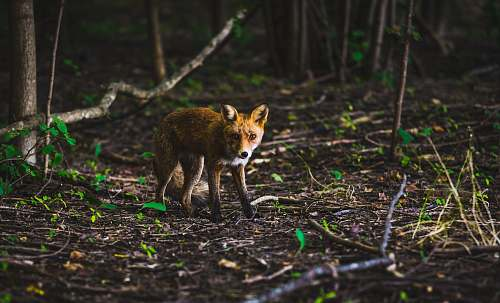 fox shallow focus photography of brown animal wildlife