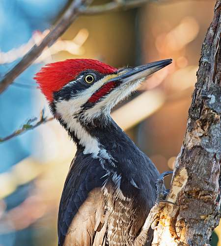 animal black and white woodpecker on brown tree bar flicker bird