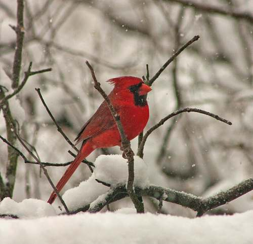 animal cardinals on top of tree branch while snowing cardinal