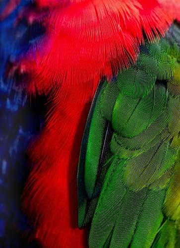 kuranda green and red bird tails australia